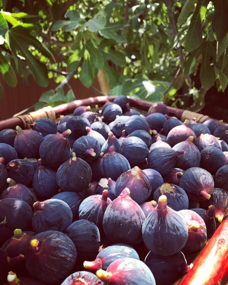 Récolte du jour des figues noires
